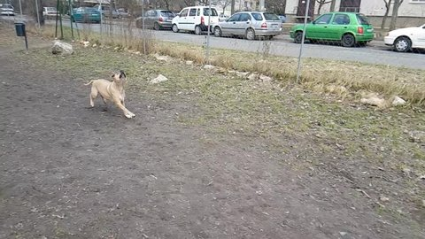 Brown pitbull dog can not catch the ball, slow motion