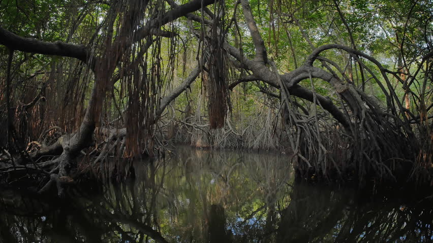 Virgin mangrove forest in Sri Lanka with exotic vegetation on river banks. Thick dense thicket of trees and roots in flooded swamp area. Foliage of canopy reflecting in river water surface