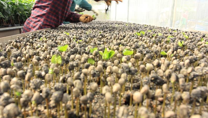 Planting coffee seedlings.