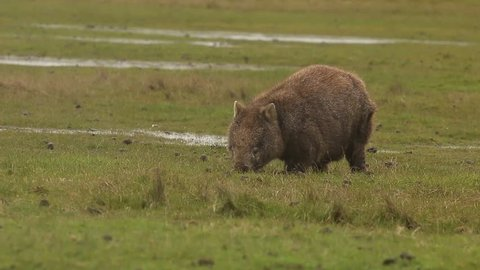 Wombat feeding on grass