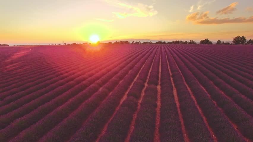 AERIAL 4K: Flight over Lavender Field. Sunset or sunrise aerial landscape of endless sunlit lavender fields. Plateau du Valensole, Provence, South France, Europe. Tranquil cinematic view. Lense Flare