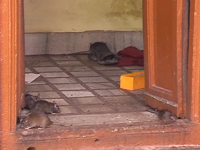 Rats in indian temple