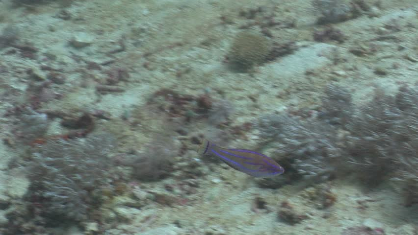Yellow-fin flasher-wrasse (Paracheilinus flavianalis) swimming underwater in Indonesia