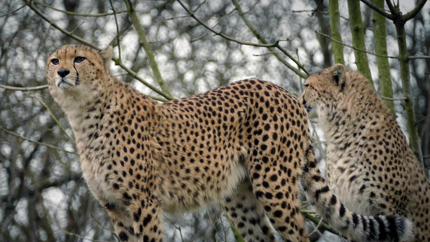 Cheetahs Stand Alert And One Walks Off