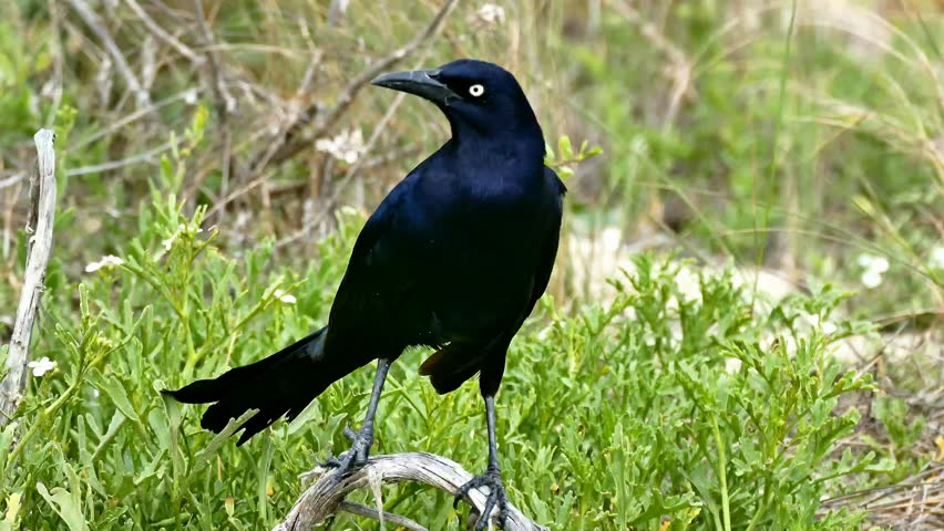 Great-tailed Grackle 4K