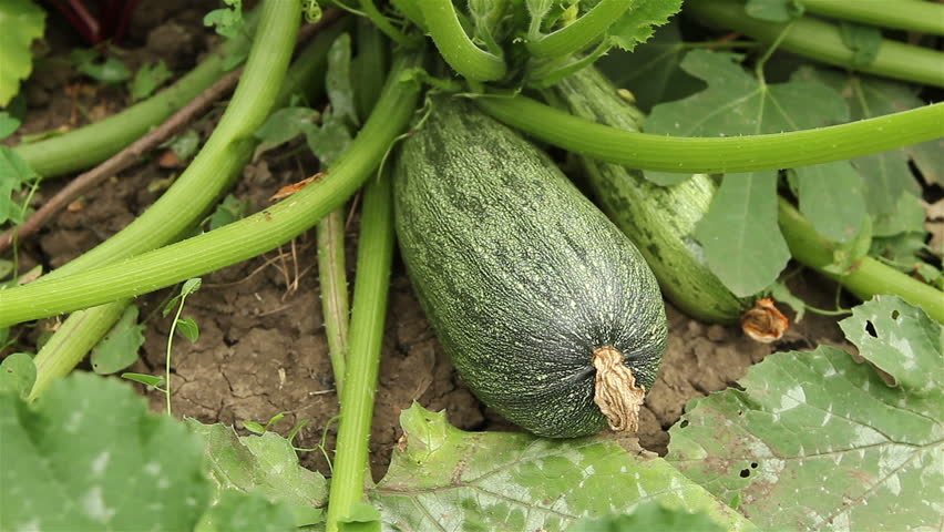 How to plant a courgette zucchini