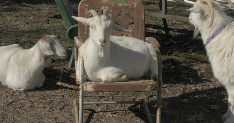 One goat resting on the ground and another white goat resting in a rusty lawn chair. A bossy white kashmir goat nudges the goat out of the chair