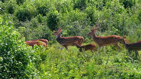 Slow motion video of wild Deer family group move in wild nature of Sri Lanka national park Yala. Beautiful animals in protected fauna and flora reserve sanctuary seen during safari tour