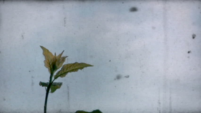 720p Leaf waves in breeze, old film effect
