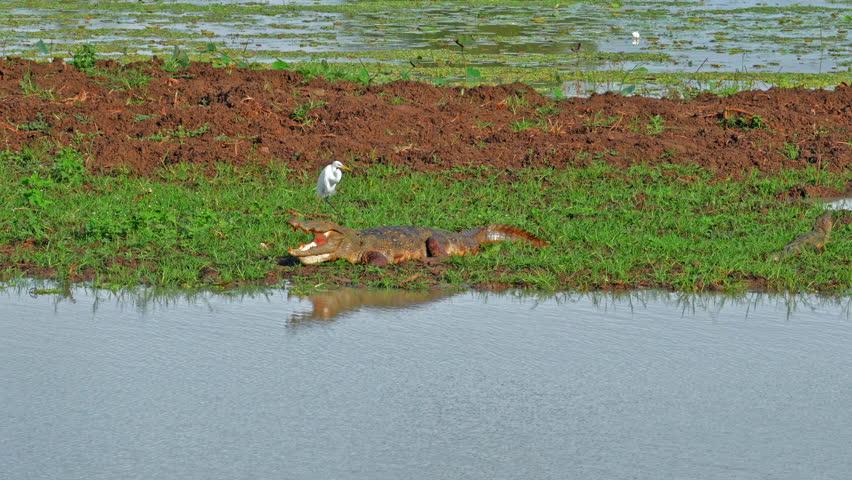 Beautiful nature landscape of wildlife nature in Sri Lanka national park Yala. Marsh crocodile Mugger and white aquatic bird Egret on river bank