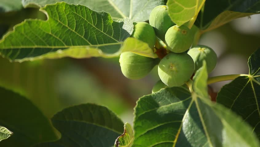 Figs On Green Fig Tree Stock Footage Video 100 Royalty Free 2553947 Shutterstock