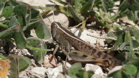 Grasshopper brown on pebbles and stone and clover plants - locust heteracris littoralis
