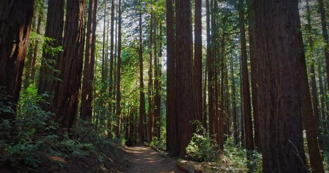 Aerial tracking moving down path in redwood forest , California
