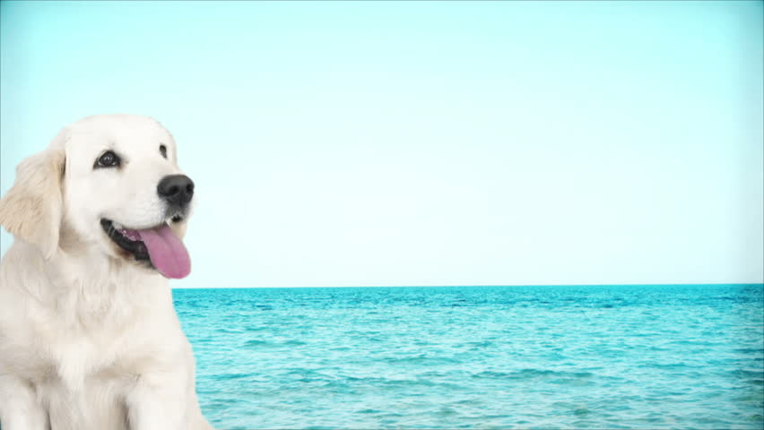Golden retriever on the background of the sea | Shutterstock HD Video #25595963