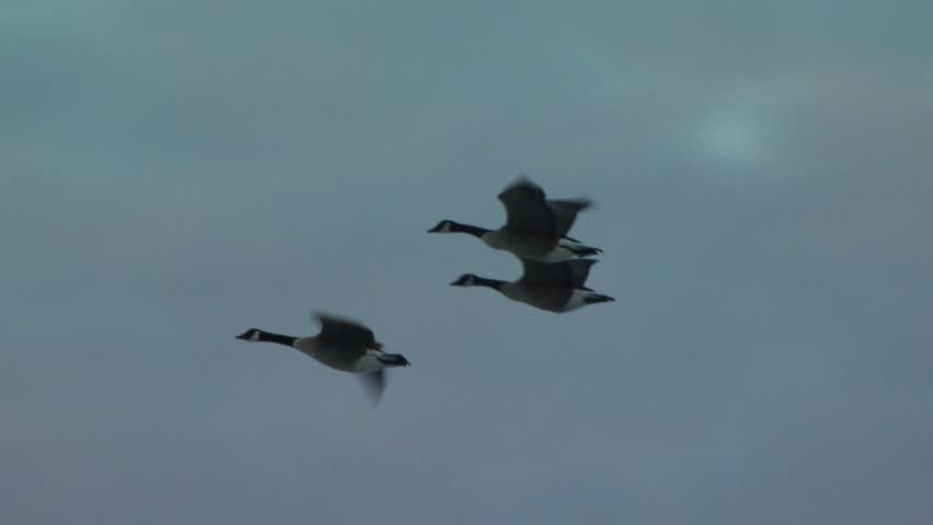 Group of Canada Geese flying over winter woods