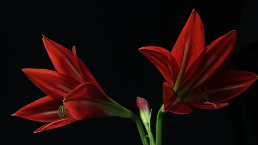 Plant flower blooming time lapse Amaryllis blooming (Hippeastrum sp.)