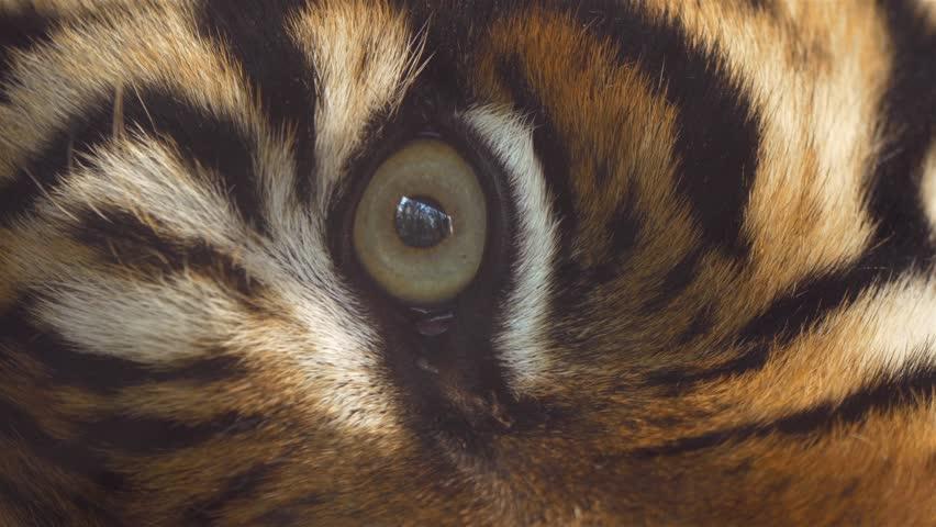 Close up of Sumatran tiger's eye #25633907