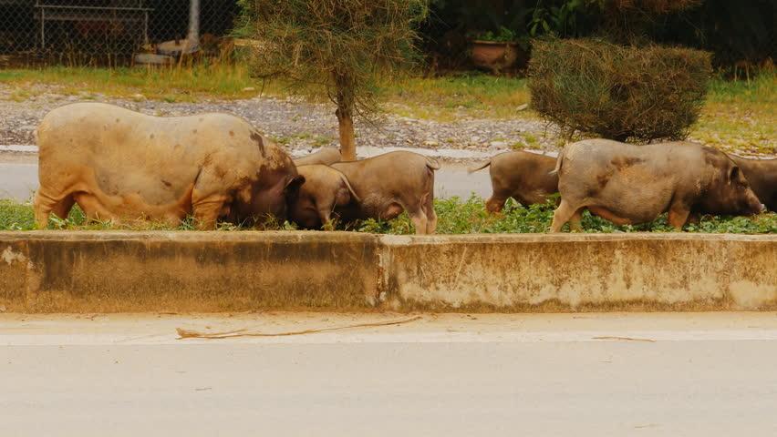 Vietnamese Potbelly Pig walks near the road.