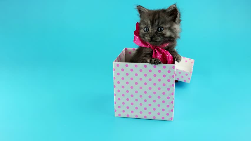 Cute funny Happy Birthday gift surprise, little grey kitten with pink bow, get out from the present box, ready for chroma key, on blue chroma key