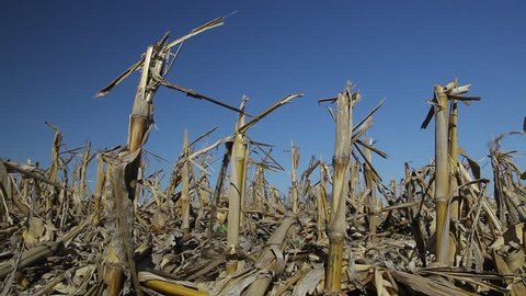 Slow pan of harvest corn stalks