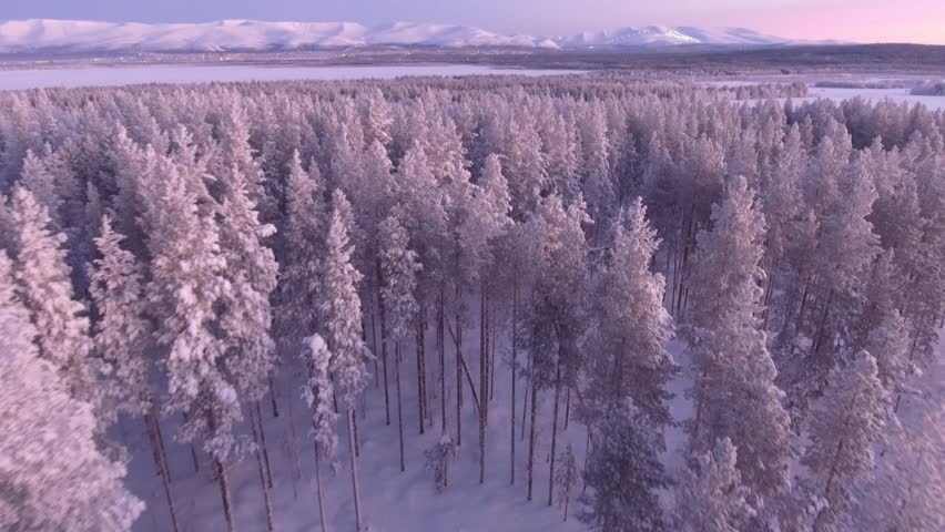 Beautiful pine trees forest cowered in snow. Early morning first warm light. Unique aerial drone shots in frizzing cold winter. North Siberia. Flight inside the forest close forward move