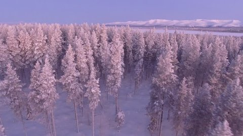Beautiful pine trees forest cowered in snow. Early morning first warm light. Unique aerial drone shots in frizzing cold winter. North Siberia. Drift with assent