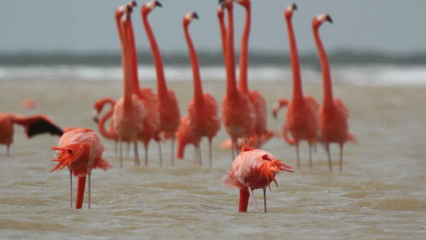 pink flamingos in the salt lagoons, ria largartos, mexico