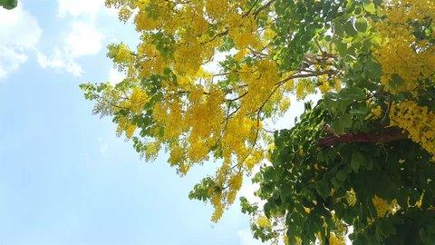 Golden shower tree with blue sky,Cassia fistula