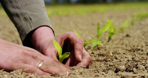 Man holds the biological sprout of life in his labor hands and plants in the ground on working fields, on a brown background, concept: lifestyle,farming,ecology,bio,love, tradition,planting, new life.