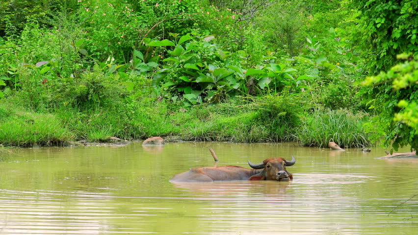 Asian water Buffalo lying relaxed in freshwater pond, chewing and looking  at camera. Exotic bovine bathing in water to keep cool. Udawalawe National  Park ...