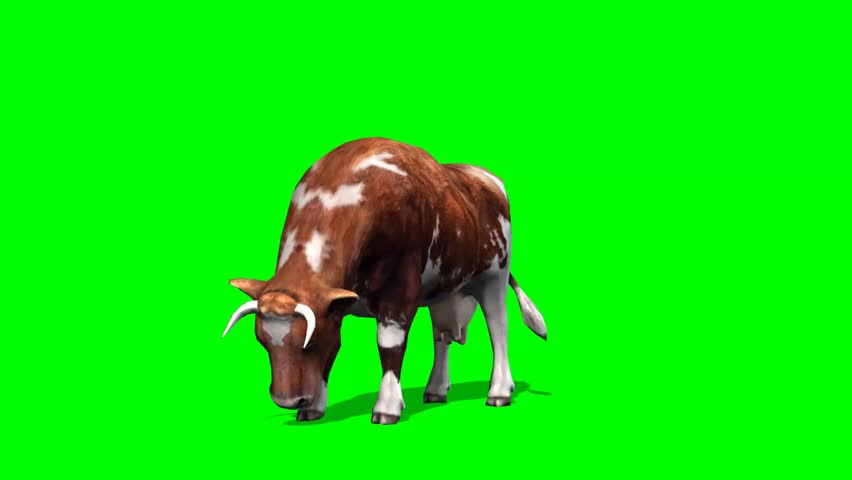 cow - brown cow graze motion - isolated  green screen