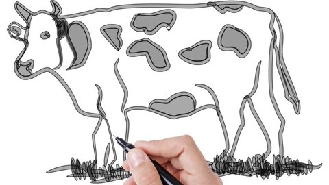 Man sketching cow on whiteboard background  animated sketch of cow on white  background for presentation, meeting, business, concepts, ideas by human (  right hand )