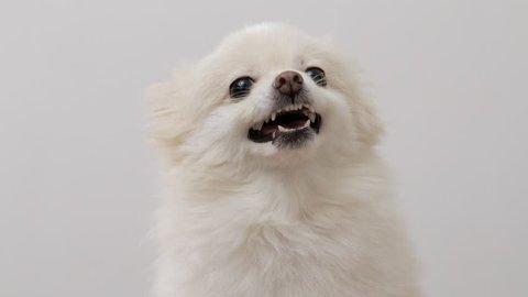 Angry White Pomeranian