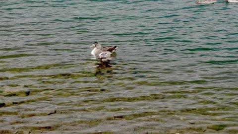 wild ducks, the lake of Nemi