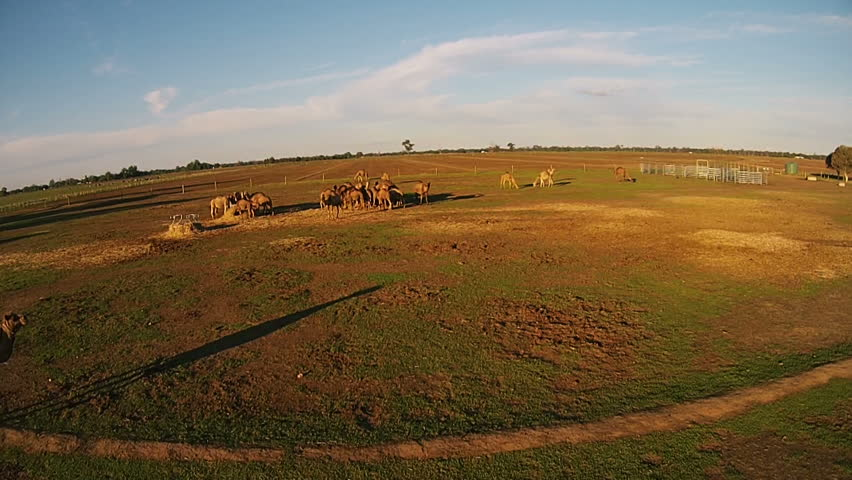 Shooting from air drone. Camels graze on the green farm on fresh air | Shutterstock HD Video #26169407