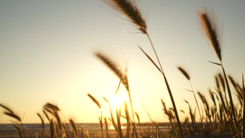 Sunset at the Adriatic sea in Albania close to Durres. Many silhouettes of wild plants (spikes) similar to wheat or rye on the yellow background of the setting sun moving fast in the wind.