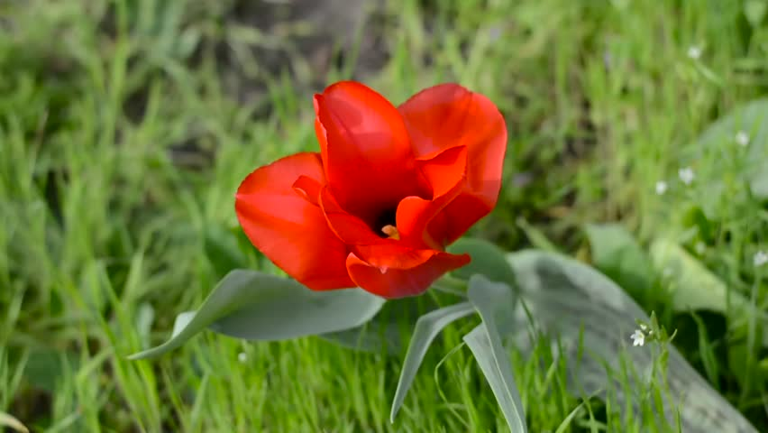 Red tulip swaying in the wind