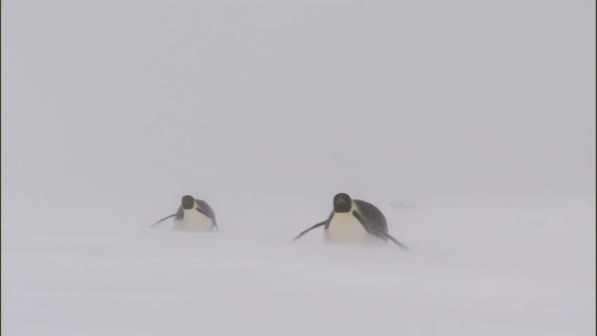 WS Two emperor penguins (Aptenodytes forsteri) sliding on snow / Antarctica