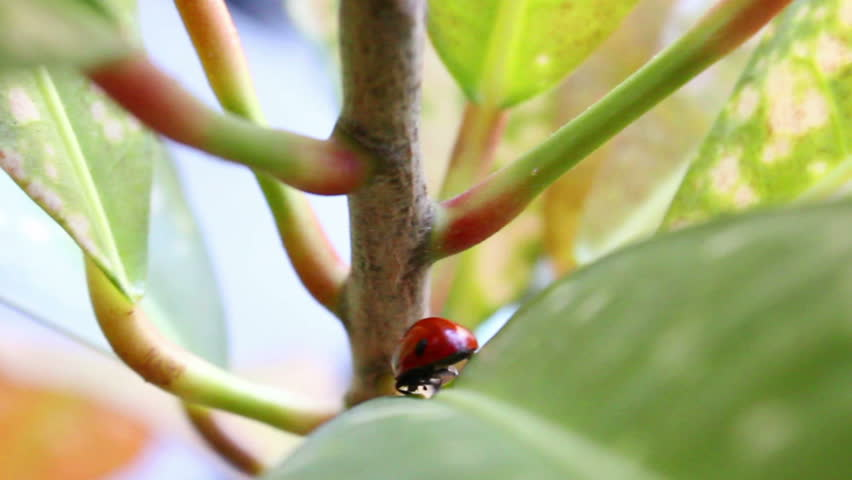 ladybug crawling on the plant