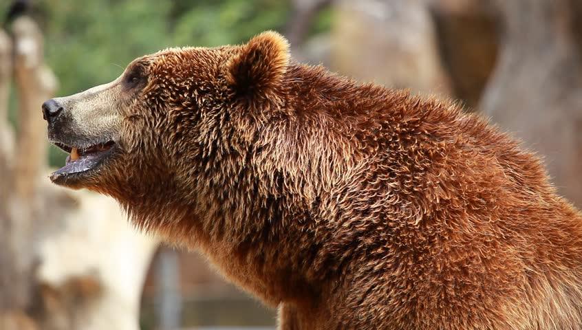 Brown bear looking for food