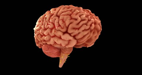 Realistic, fully detailed Human Brain 3D model. The model created in consultation with some neurology professors carefully.