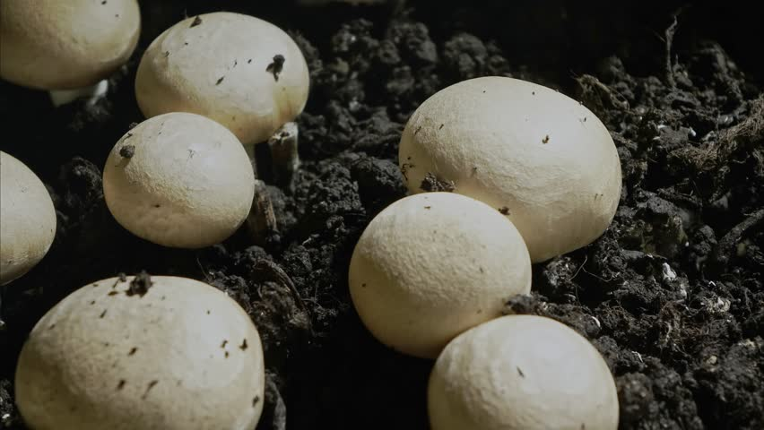 Rapid growth of  champignons , 4K time-lapse