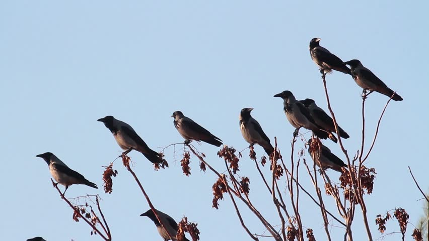 Hooded crow group on branch | Shutterstock HD Video #26357297