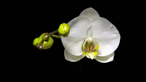 White phalaenopsis orchid flowers blossom opening slowly on black background.