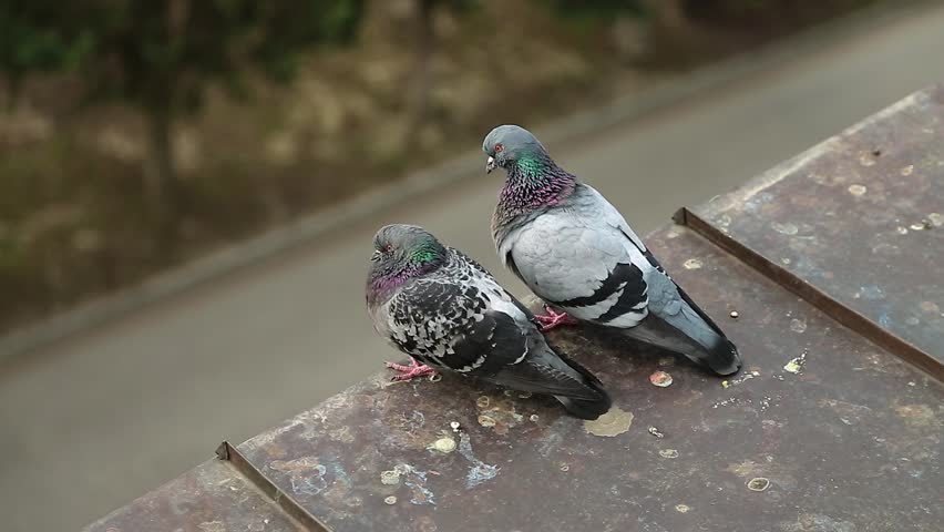 Pigeons sit on the edge of roof and scratch itself. Couple of doves together on the house roof. Two pigeons on the roof cleans feathers