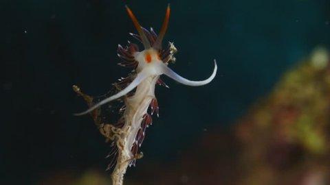 flabellina nudibranch slow motion nudi branch moustache