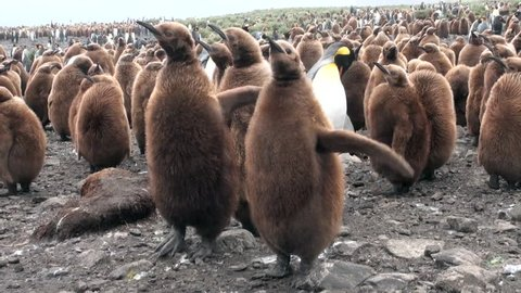 Many king penguins on ocean coast on Falkland Islands in Antarctica. Incredibly intelligent and dignified animals birds. Coast on background of snowy mountains.