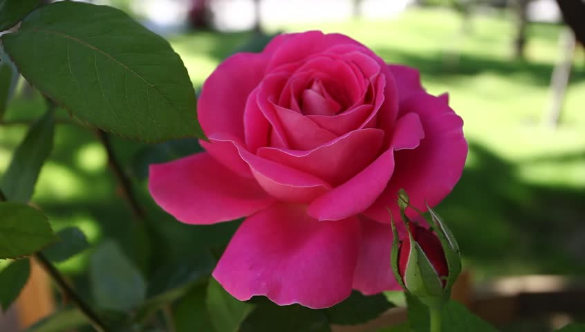 Rose background   Shutterstock HD Video #2645477