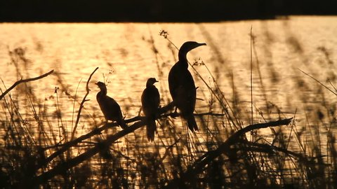 Medium shot of Reed Cormorant (Microcarbo africanus) birds flying off at sunset. Cormorants are water birds and hunt for fish underwater and surface to swallow their meal and dry their wings.