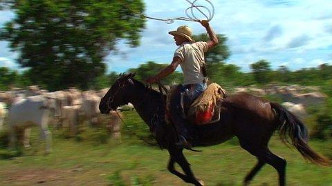 Cowboy, cow, Brazil, pantanal